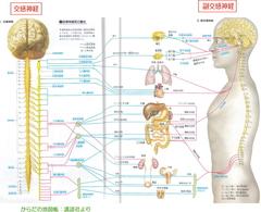 自律神経.jpg