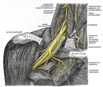 腕神経叢・胸郭出口.jpgのサムネイル画像